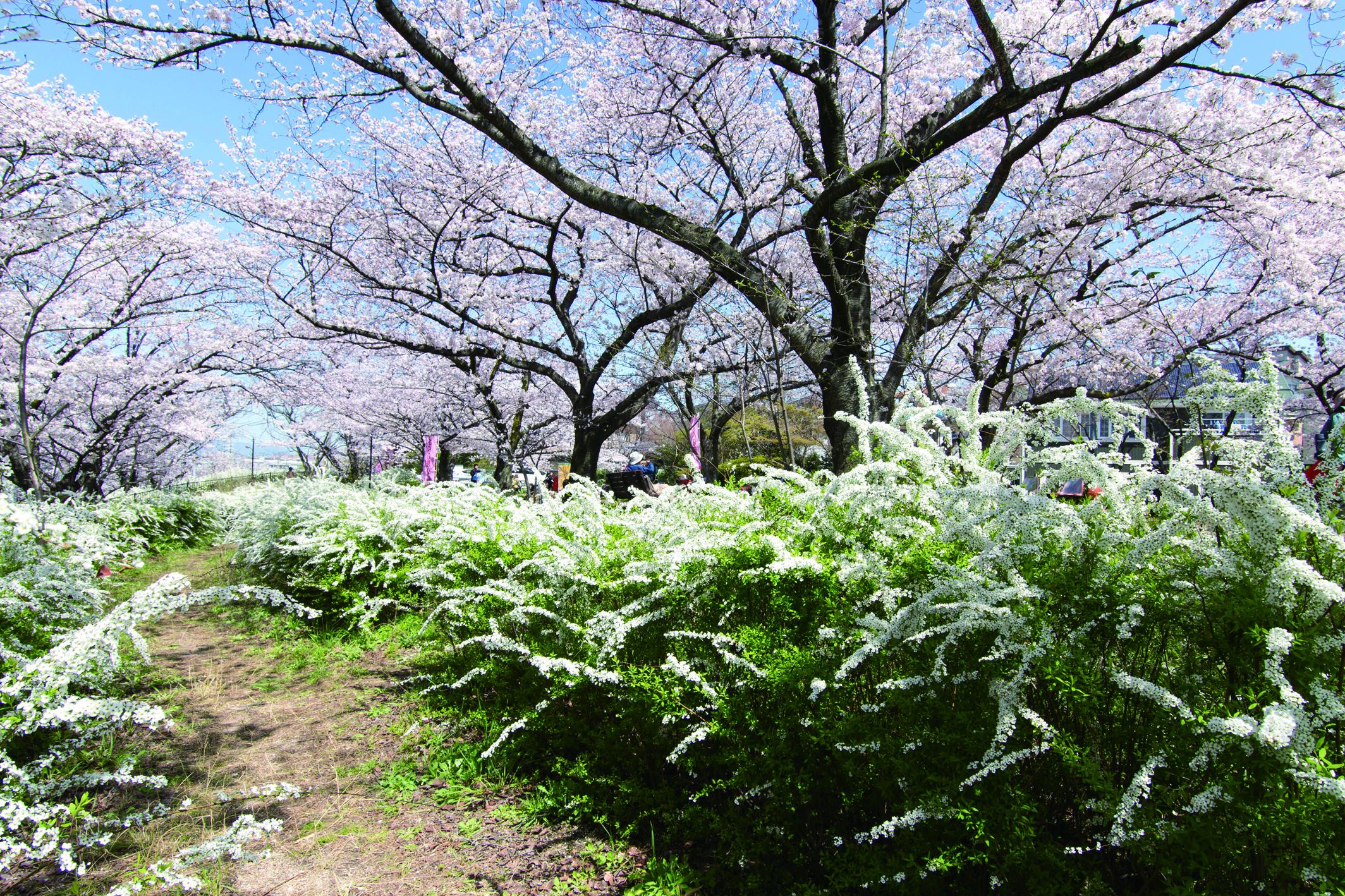 春には徒歩4分で妙見河原の桜の花見を楽しむ事ができます。