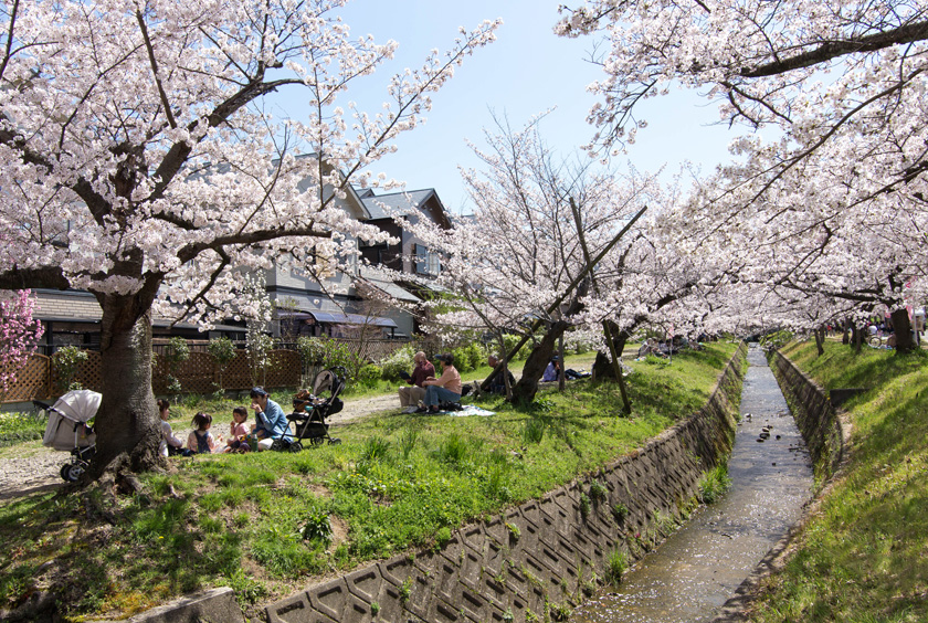 妙見河原の桜